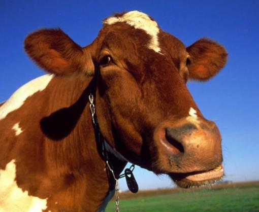 Саудовская Аравия заинтересовалась крупным и мелким рогатым скотом из Украины