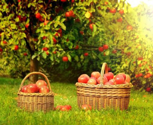 В Харьковской области пройдет «яблочный» фестиваль