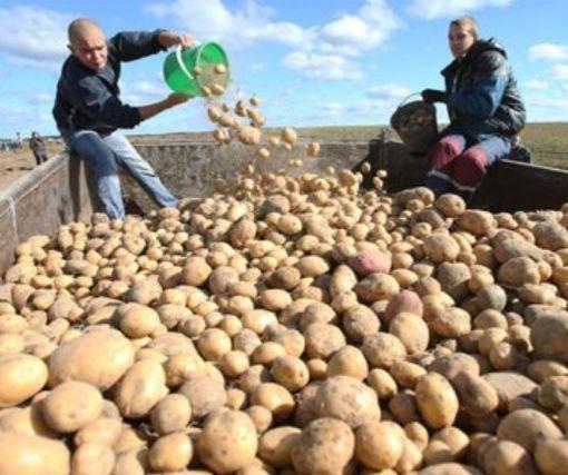 Украинские аграрии ожидают небывалый урожай популярного овоща