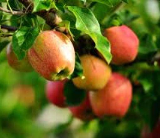 Эксперты объяснили, почему украинские яблоки еще не едят по всему миру