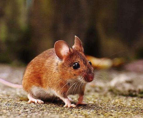 Города превратятся в питомники для крыс