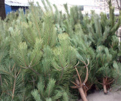 В Харькове подешевеют новогодние елки (фото)