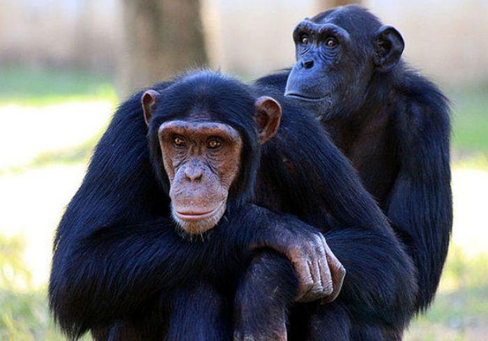 Хитрый шимпанзе придумал, как улизнуть из зоопарка в Ирландии: видео-факт