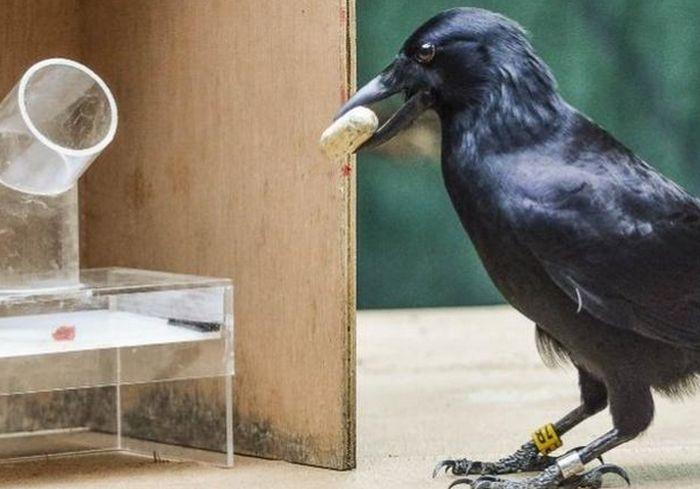 «Есть план!» Ученые сообщили об уникальном интеллекте ворон (видео)
