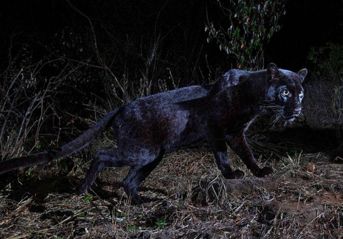 В Африке впервые за 100 лет обнаружили редчайшего леопарда: фото-факт