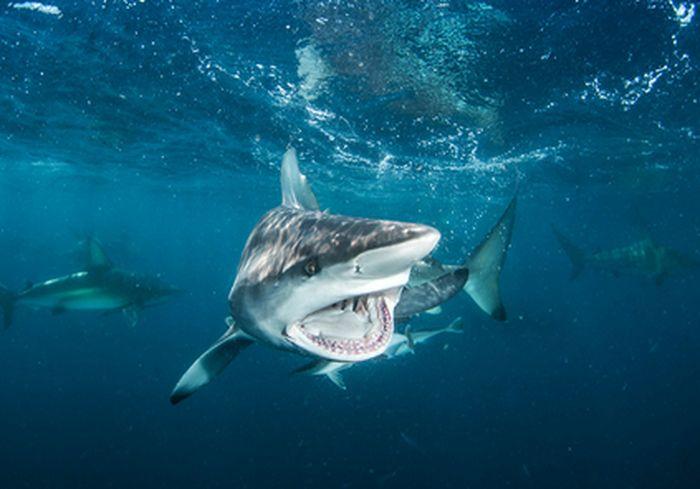 В Сети показали схватку голодного морского льва и акулы: видео-факт