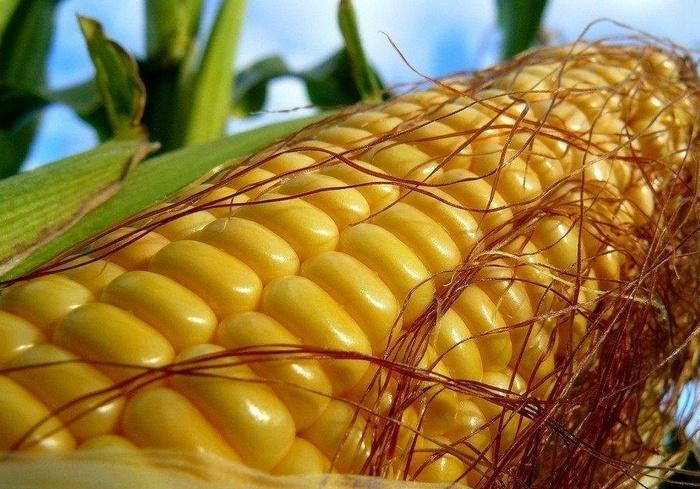 На Харьковщине фермер засеял кукурузой государственную пашню