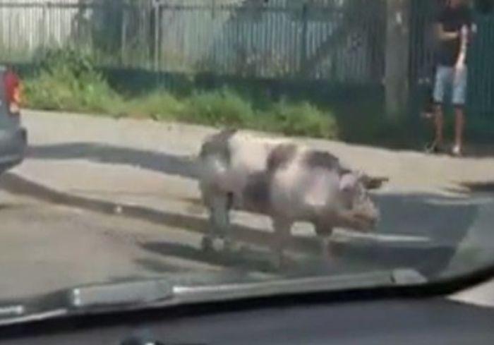 В Виннице свинья совершила отчаянный побег (видео)