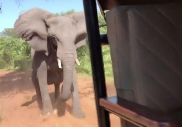 Туристы в ЮАР едва удрали на джипе от разъяренного слона: видео-факт