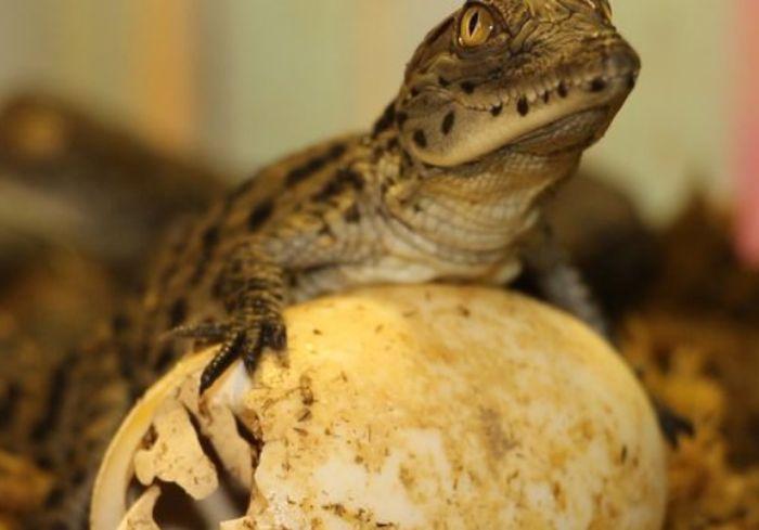 В Харьковском зоопарке у нильских крокодилов появились детеныши (видео)