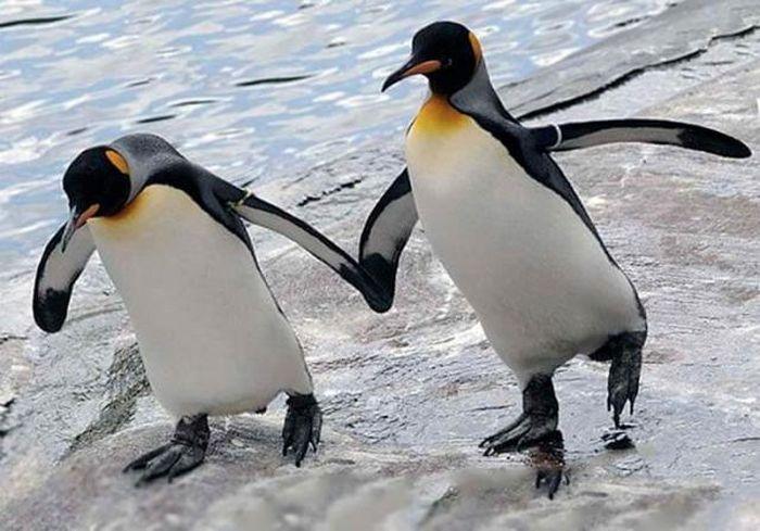 Биологи озадачены: королевские пингвины начали переселяться в… Африку