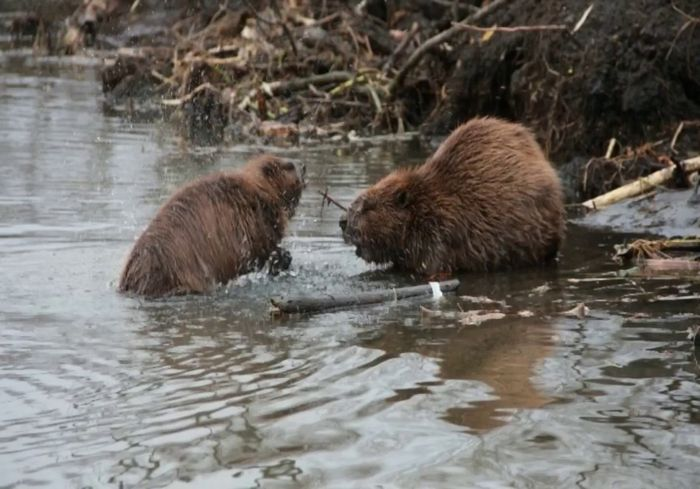 В Национальном парке под Харьковом становится все меньше бобров