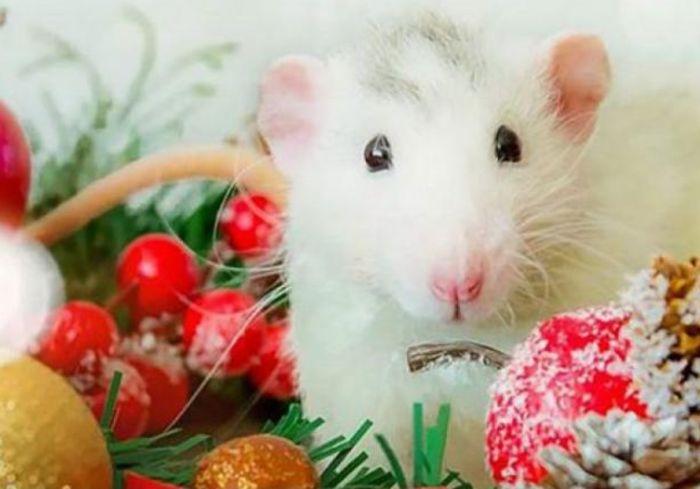 Как правильно встретить Год Белой крысы