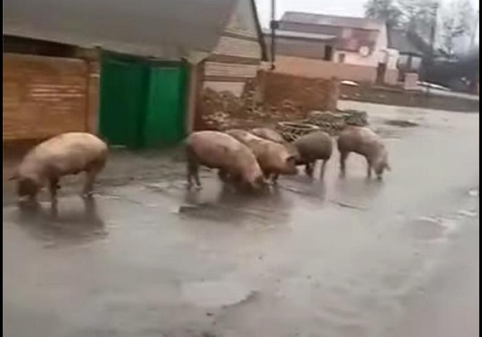 ДТП под Харьковом: некоторым свиньям удалось разбежаться (видео)