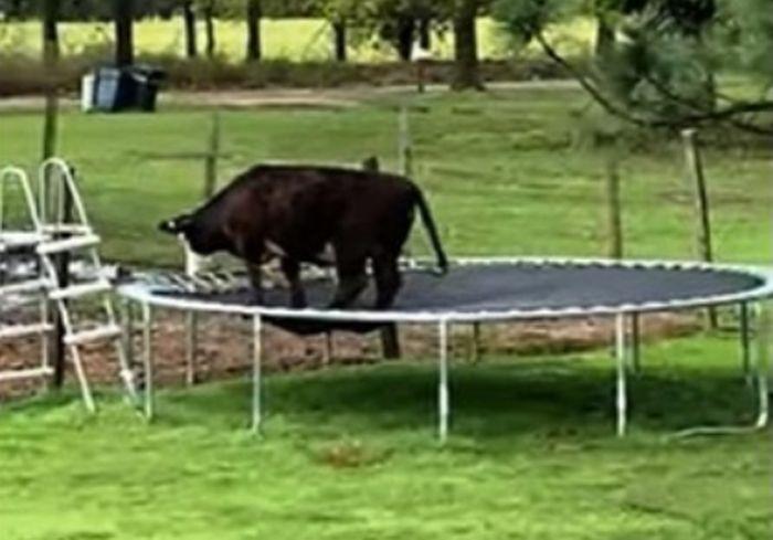 Корова решила попрыгать на батуте и насмешила Сеть (видео)