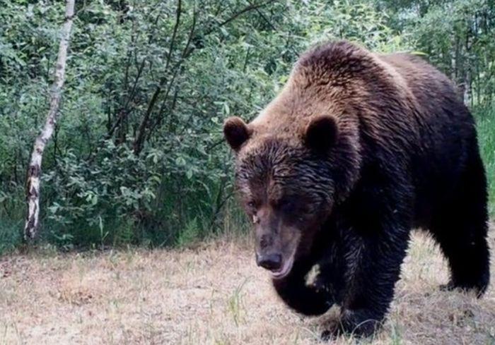 «Впервые за сто лет»: в чернобыльские леса вернулись медведи (видео)