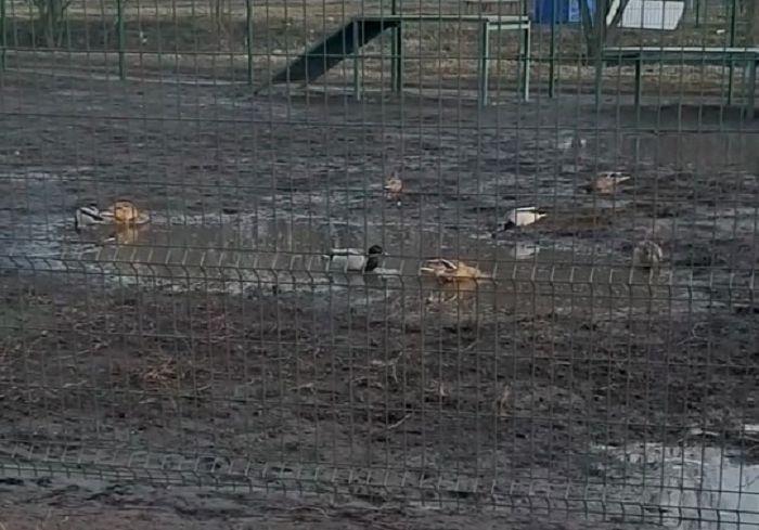 На Салтовке в вольере для собак поселились утки